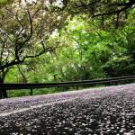 みかも山公園 桜道