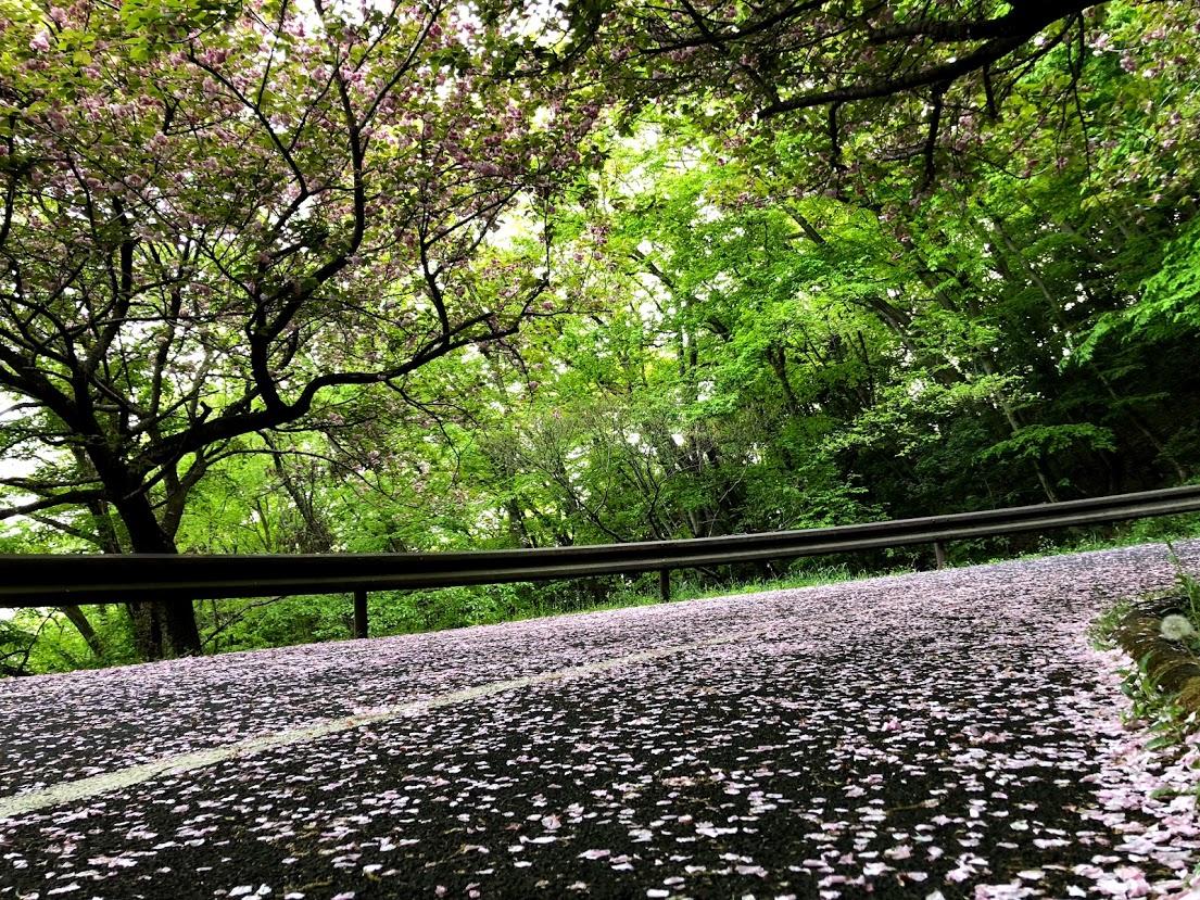 三毳山の桜